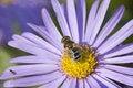 Free Bee Flower Macro Royalty Free Stock Images - 3319389