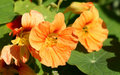 Free Nasturtian Flowers Royalty Free Stock Image - 3319456