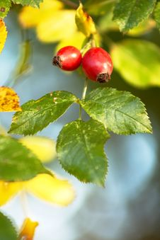 Free Red Hips Royalty Free Stock Photography - 3310267