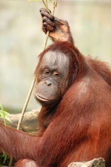 Free Orangutan Royalty Free Stock Image - 3310516