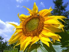Free Single Sunflower Royalty Free Stock Images - 3310639