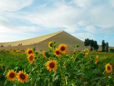 Free Sand Hill And Helianthus Stock Photos - 3310653