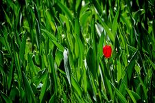 Free First Tulip Flower In Spring Royalty Free Stock Photos - 3311048