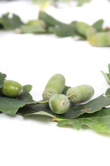 Free Acorns Of Oak Tree Stock Photo - 3311300