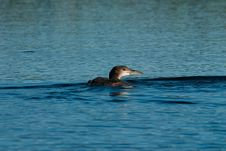 Free Young Loon Stock Photo - 3311450