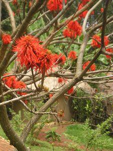 Free Red Flower Rwanda Hut Stock Photography - 3311882