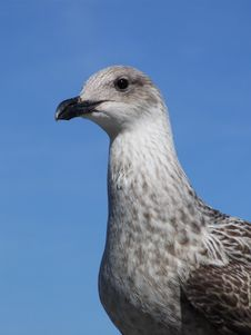 Free Young Seagull Stock Photo - 3312700