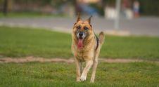 Free German Shepherd Royalty Free Stock Image - 3314266