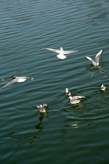 Free Seagulls On The River Stock Image - 3314371