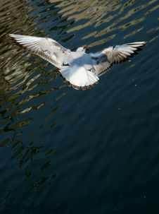 Seagull Flying Seagull Royalty Free Stock Photos