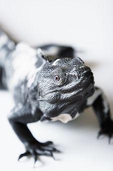 Free Spiny Tailed Iguana Royalty Free Stock Image - 3314636