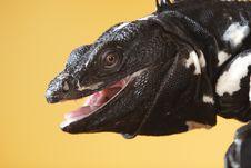Free Spiny Tailed Iguana Stock Photo - 3314640