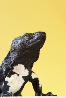 Free Spiny Tailed Iguana Stock Photography - 3314682