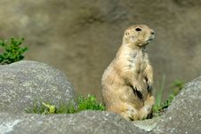Free Cute Prarie Dog Royalty Free Stock Images - 3314829