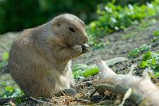 Free Cute Prarie Dog Stock Photos - 3314833