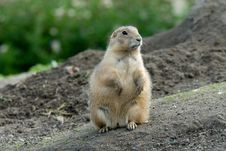 Free Cute Prarie Dog Royalty Free Stock Images - 3314849