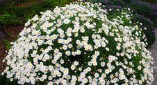 Free Daisy Stock Image - 3314941