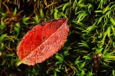 Free Red Leaf Stock Photo - 3315120