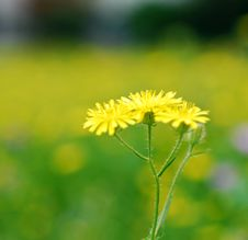 Free Yellow Wild Flower Royalty Free Stock Photography - 3315467