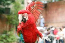 Red Parrot Stock Photography