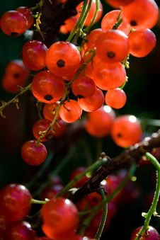 Free Red Currants Royalty Free Stock Photography - 3316197