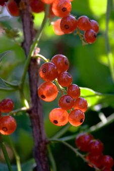 Free Red Currant Royalty Free Stock Images - 3316239