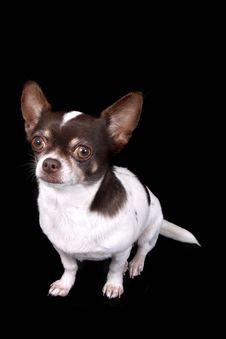 Free Chihuahua Royalty Free Stock Image - 3316266
