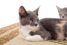 Free Two Kitten On The Carpet Stock Image - 3316281