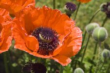 Free Poppies At Daylight Stock Images - 3317284