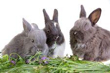 Free Three Eating Bunny Stock Image - 3317461