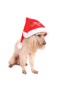 Free Poodle And The Xmas Stock Photography - 3317522