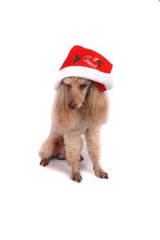 Free Poodle And The Xmas Royalty Free Stock Photography - 3317527