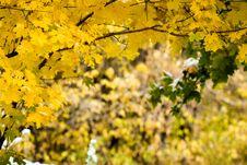 Canadian Maple Leaf Stock Photo