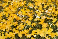 Free Canadian Maple Leaf Stock Photo - 3319100