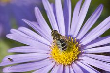 Free Bee Flower Macro Royalty Free Stock Images - 3319389