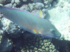 Free Parrot Fish Royalty Free Stock Image - 3319736