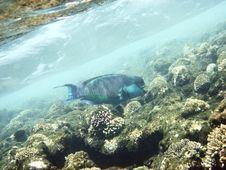 Free Parrot Fish Stock Photo - 3319740
