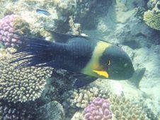 Free Angelfish Stock Image - 3319741