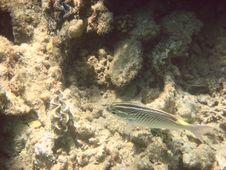 Free Angelfish Royalty Free Stock Image - 3319796