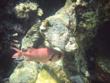 Free Red Angelfish Royalty Free Stock Photography - 3319807