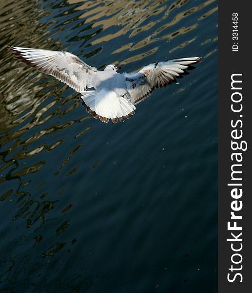 Seagull Flying Seagull