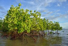 Free Mangrove Plants Stock Photography - 33104932