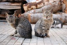 Free Two Homeless Brothers Cats Royalty Free Stock Image - 33105066
