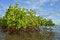 Free Mangrove Plants Stock Photography - 33104932