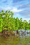 Free Mangrove Plants Stock Images - 33105064