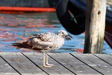 Free Seagull Eats Fish Stock Photos - 33110013