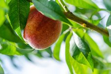 Free Peaches Royalty Free Stock Photography - 33111907