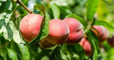Free Ripe Peaches Royalty Free Stock Photography - 33112057