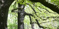 Free Gnarled Oaks Royalty Free Stock Photography - 33113957