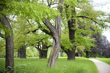 Free Old Trees In  Young Springtime Royalty Free Stock Photos - 33114408